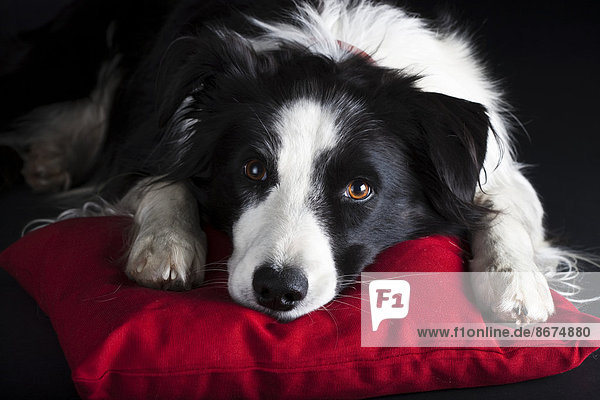 Border Collie  black and white  lying on a red cushion