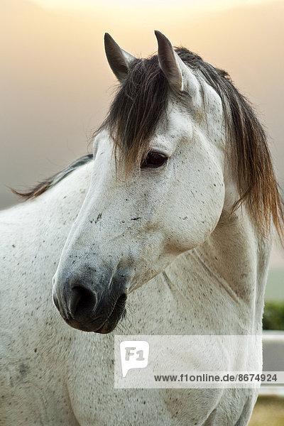Lusitano horse  gelding  white horse  Andalusia  Spain