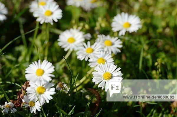Gänseblümchen  Bellis perennis  blühen  Wiese