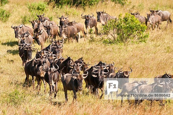 Rift Valley  Kenia  Masai Mara National Reserve  Afrika  Kenia
