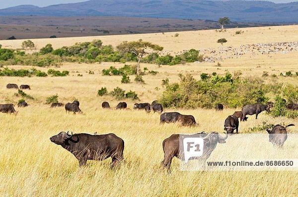 stehend  Landschaft  Büffel  Rift Valley  Kenia  Masai Mara National Reserve  Afrika  Kenia  Savannah