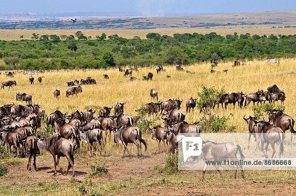 Herde  Herdentier  Rift Valley  Kenia  Masai Mara National Reserve  Afrika  Kenia