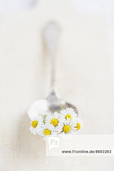 Blüten der Europäischen Gänseblümchen (Bellis perennis) auf Löffel und Holzplatte