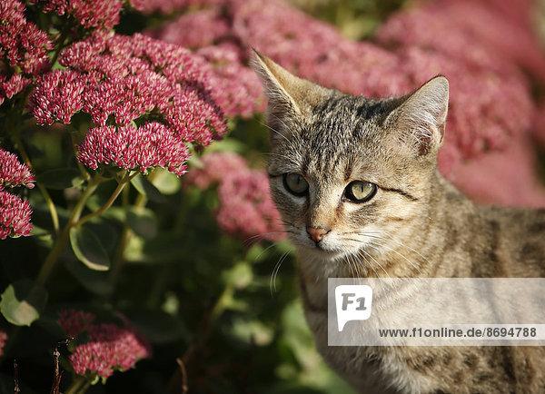 Porträt eines getigerten Kätzchens vor roten Blüten