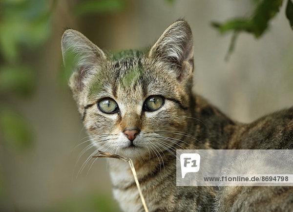 Porträt einer jungen  getigerten Katze
