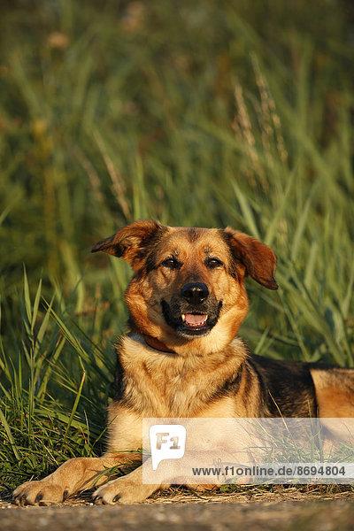 Porträt eines Schäferhundmischlings auf einer Wiese liegend