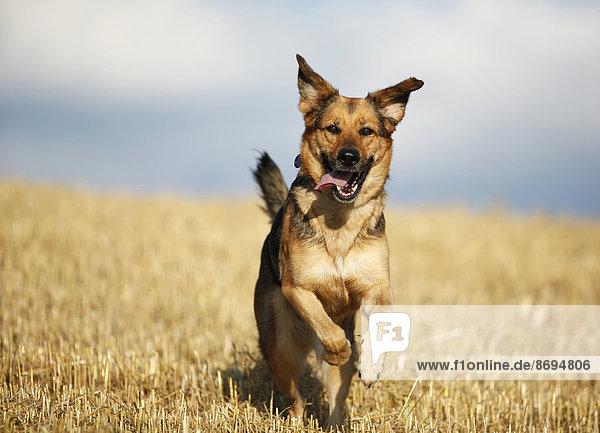 Deutscher Schäferhund Mischling läuft auf einem Stoppelfeld vor dem Himmel