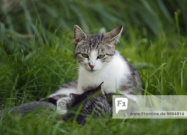 Katze mit Kätzchen (felis silvestris catus) auf Gras liegend