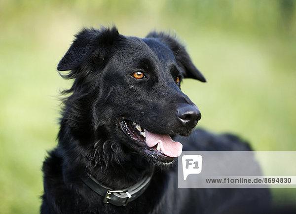 Deutschland  Baden-Württemberg  schwarzer Hund  Mischling  Portrait