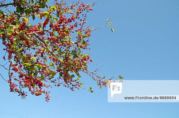 Hamilton Spindletree