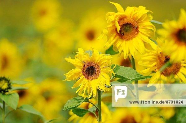hoch  oben  nahe  Sonnenblume  helianthus annuus  Feld  2  Deutschland