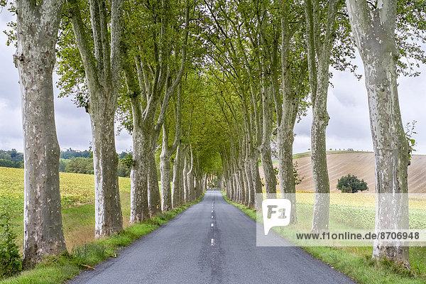 Platanen (Platanus x acerifolia) entlang einer von Bäumen gesäumten Straße  Département Tarn-et-Garonne  Midi-Pyrénées  Frankreich