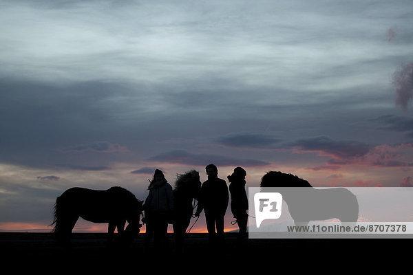 Three Icelandic horses and three riders standing next to each other at sunset  Horn  Höfn í Hornafirði  Hornafjörður  Iceland