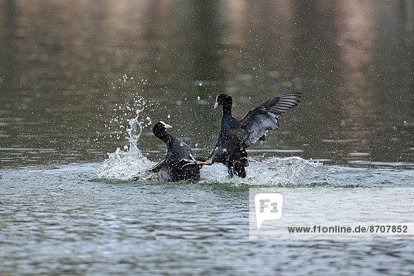 Blässhühner (Fulica atra)  männlich  kämpfend  im Wasser  Luisenpark  Mannheim  Baden-Württemberg  Deutschland