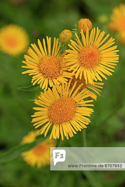 Wiesen-Alant (Inula britannica)  Blüten  Deutschland