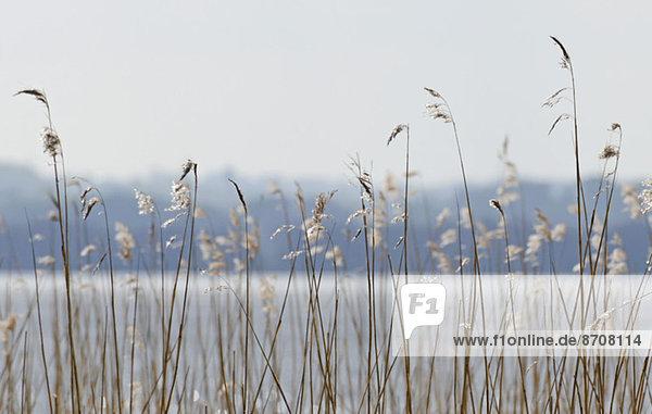 Schilf am See im Frühling