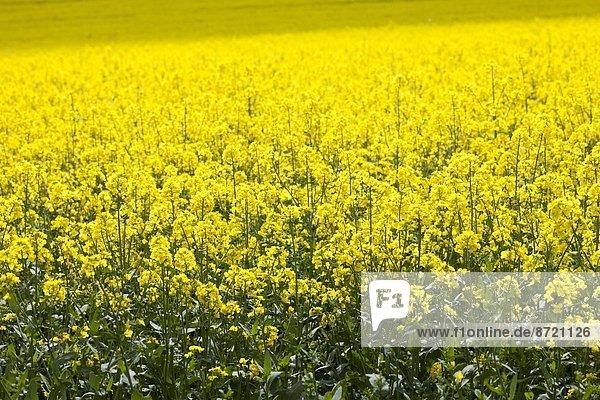 Raps  Brassica napus  Großbritannien  Landschaft  Cotswolds  Oxfordshire Raps, Brassica napus ,Großbritannien ,Landschaft ,Cotswolds ,Oxfordshire