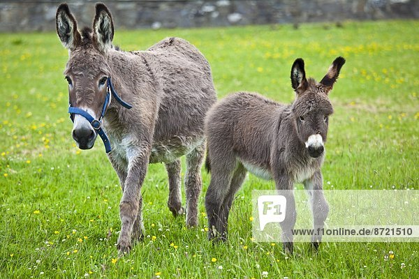 Donkey mare and foal in Connemara  County Galway  Ireland