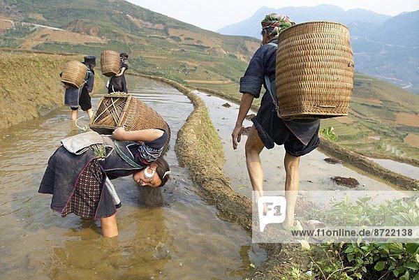 arbeiten  schwarz  Feld  Reis  Reiskorn  jung  Ethnisches Erscheinungsbild  Südostasien  Mädchen  Vietnam  Asien