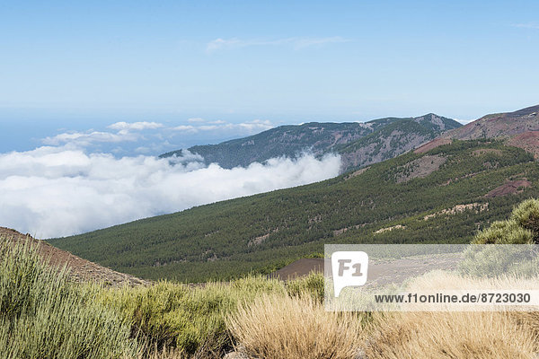 Passatwolken hängen am Kiefernwald  Parque Nacional de las Cañadas del Teide  Teide-Nationalpark  UNESCO Weltnaturerbe  Teneriffa  Kanarische Inseln  Spanien