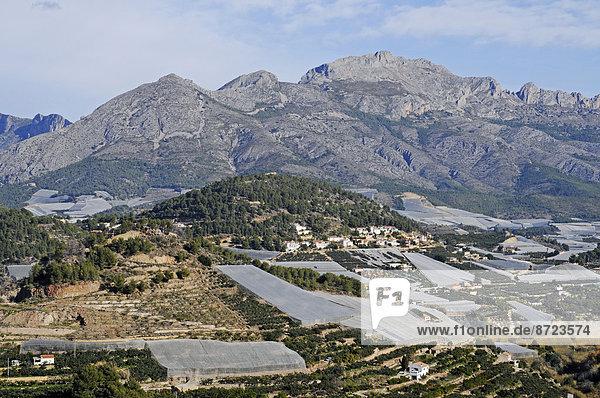 Mispelplantagen  Polop  Costa Blanca  Provinz Alicante  Spanien