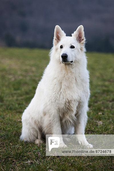 White Shepherd  male  Austria