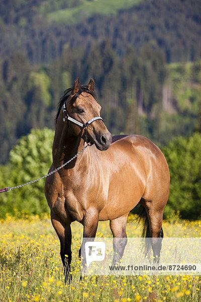 Quarter Horse mit Showhalfter  Hengst  Buckskin  steht auf Blumenwiese  Nordtirol  Österreich