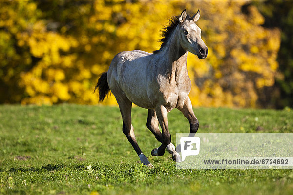 Quarter Horse  Jährling  Buckskin  galoppiert über eine Wiese  im Herbst  Nordtirol  Österreich
