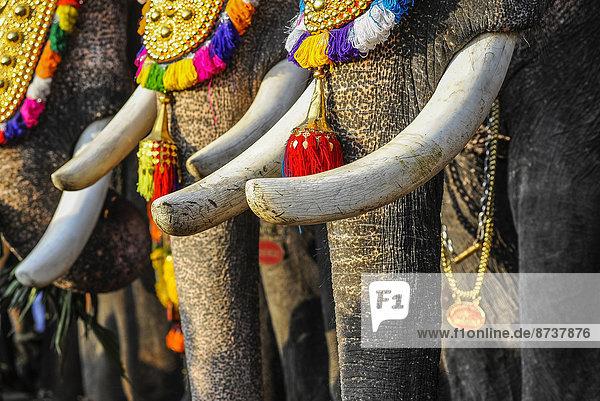 Stoßzähne von geschmückten Elefanten bei Tempelfest  Thrissur  Kerala  Südindien  Indien Stoßzähne von geschmückten Elefanten bei Tempelfest, Thrissur, Kerala, Südindien, Indien