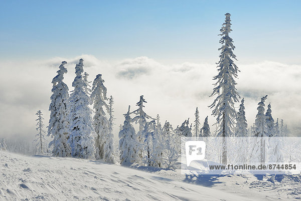 Snow Covered Conifer Forest in the Winter  Grafenau  Lusen  National Park Bavarian Forest  Bavaria  Germany