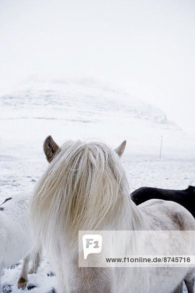 Close-up of Icelandic Horse in Winter,  Iceland