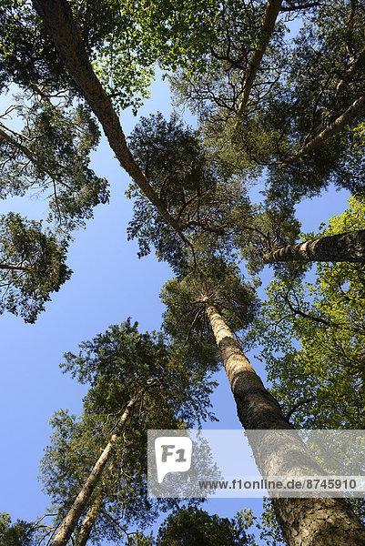 hoch  oben  sehen  Baum  Kiefer  Pinus sylvestris  Kiefern  Föhren  Pinie  Bayern  Deutschland  Oberpfalz