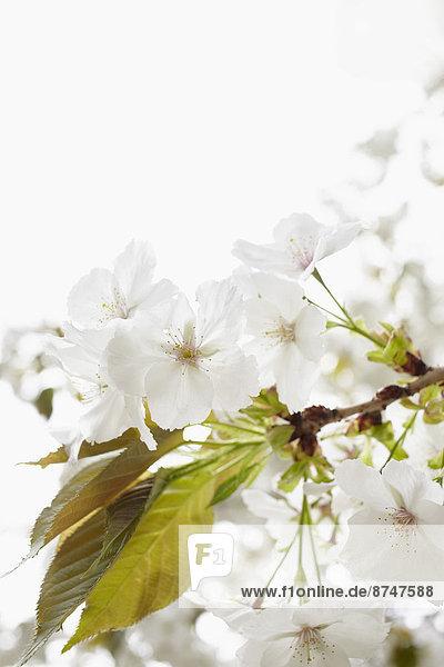 hoch  oben  nahe  Baum  weiß  blühen  Apfel  Deutschland