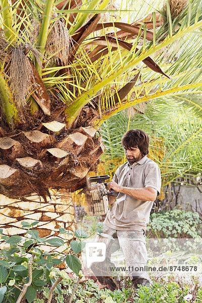 Kettensäge  Mann  Baum  Palme  Mallorca  abbröckeln  Spanien