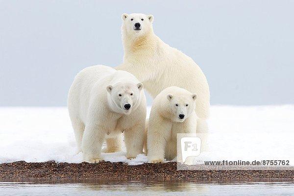 Bär  nahe  Außenaufnahme  Vereinigte Staaten von Amerika  USA  Ecke  Ecken  geselliges Beisammensein  Absperrung  Insel  Norden  vorwärts  Kaktovik  Alaska  Jungtier  2  Erwachsener  Alaska  Jahr