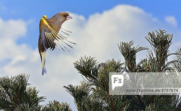 Grünfink (Carduelis chloris) im Flug Grünfink (Carduelis chloris) im Flug