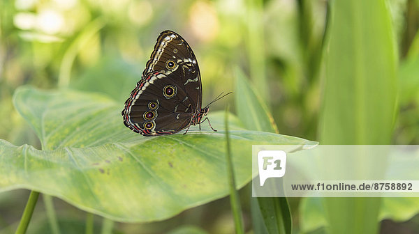 animal Brush-footed butterfly Butterfly captive animal daytime diurnal butterfly full body length Insect Munich nature nobody one animal outdoors Peleides Blue Morpho Satyrine wild animal