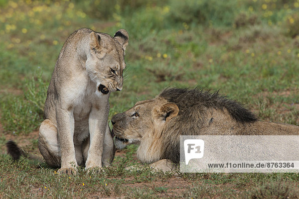 Lions (Panthera leo)  female and male  Kgalagadi Transfrontier Park  Northern Cape  South Africa