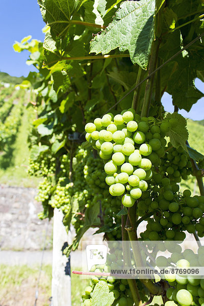 Germany  Rhineland-Palatinate  Leutesdorf  Grape vine