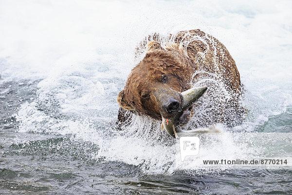 USA  Alaska  Katmai Nationalpark  Braunbär (Ursus arctos) bei Brooks Falls mit gefangenem Lachs