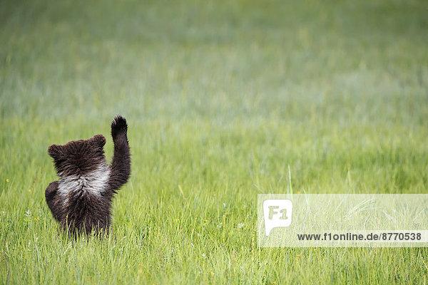 USA  Alaska  Lake Clark National Park and Preserve  Braunbärenjunges (Ursus arctos) auf der Wiese  Rückansicht USA, Alaska, Lake Clark National Park and Preserve, Braunbärenjunges (Ursus arctos) auf der Wiese, Rückansicht
