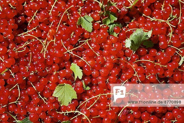 Rote Johannisbeeren (Ribes rubrum)  Nahaufnahme Rote Johannisbeeren (Ribes rubrum), Nahaufnahme