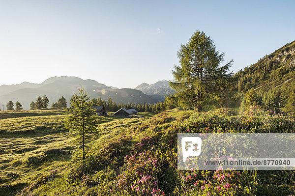 Österreich  Salzburger Land  Untertauern  Pongau  Alm und Alpenrosen (Rhododendron hirsutum)