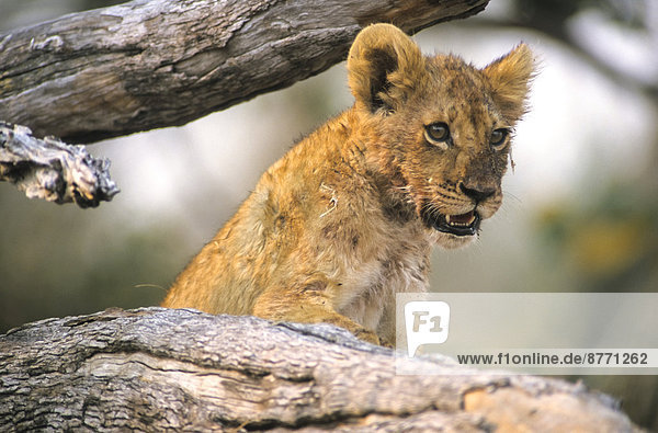Young lion (Panthera leo) on a branch  Kgalagadi Transfrontier Park  Northern Cape  South Africa