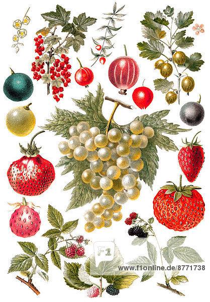 Berry fruit  historic illustration  19th century