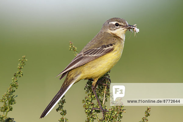 Western Yellow Wagtail (Motacilla flava) perched with prey  Strohauser Plate  Lower Saxony  Germany