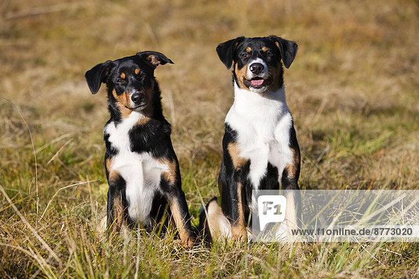 Appenzeller Sennenhund  young dogs  North Tyrol  Austria
