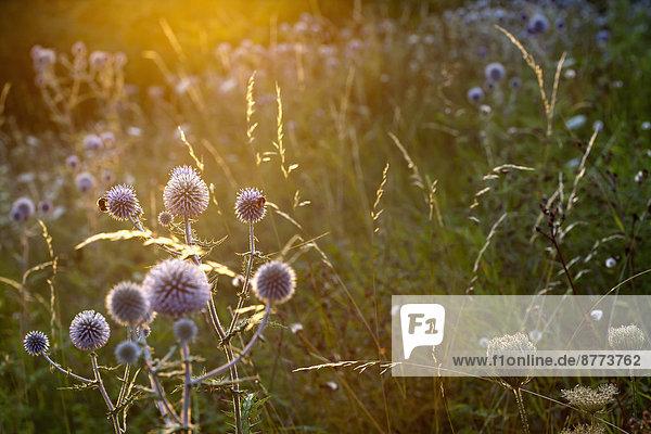 Garten mit blühenden Disteln (Carduus) bei Sonnenlicht