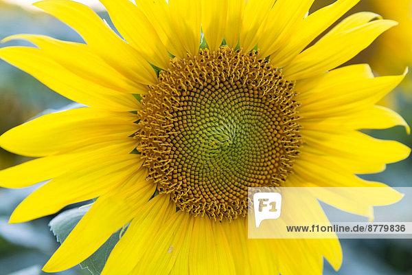 Blossom  Flourish  covers  Helianthus annuus  composites  patterns  sunflower  intense