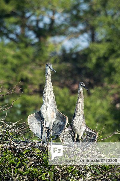 Kanadareiher  ardea herodias  Vogel  Reiher